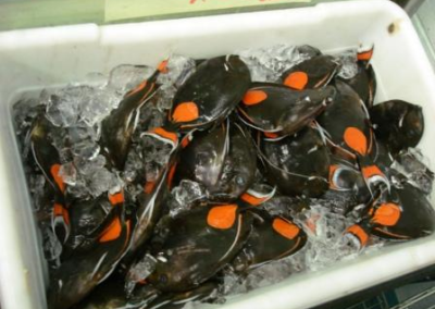 Hawai Ac. achilles as food fish