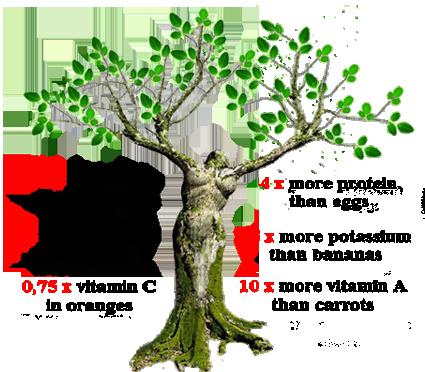 Boom met erond de voordelen van Moringa bladeren